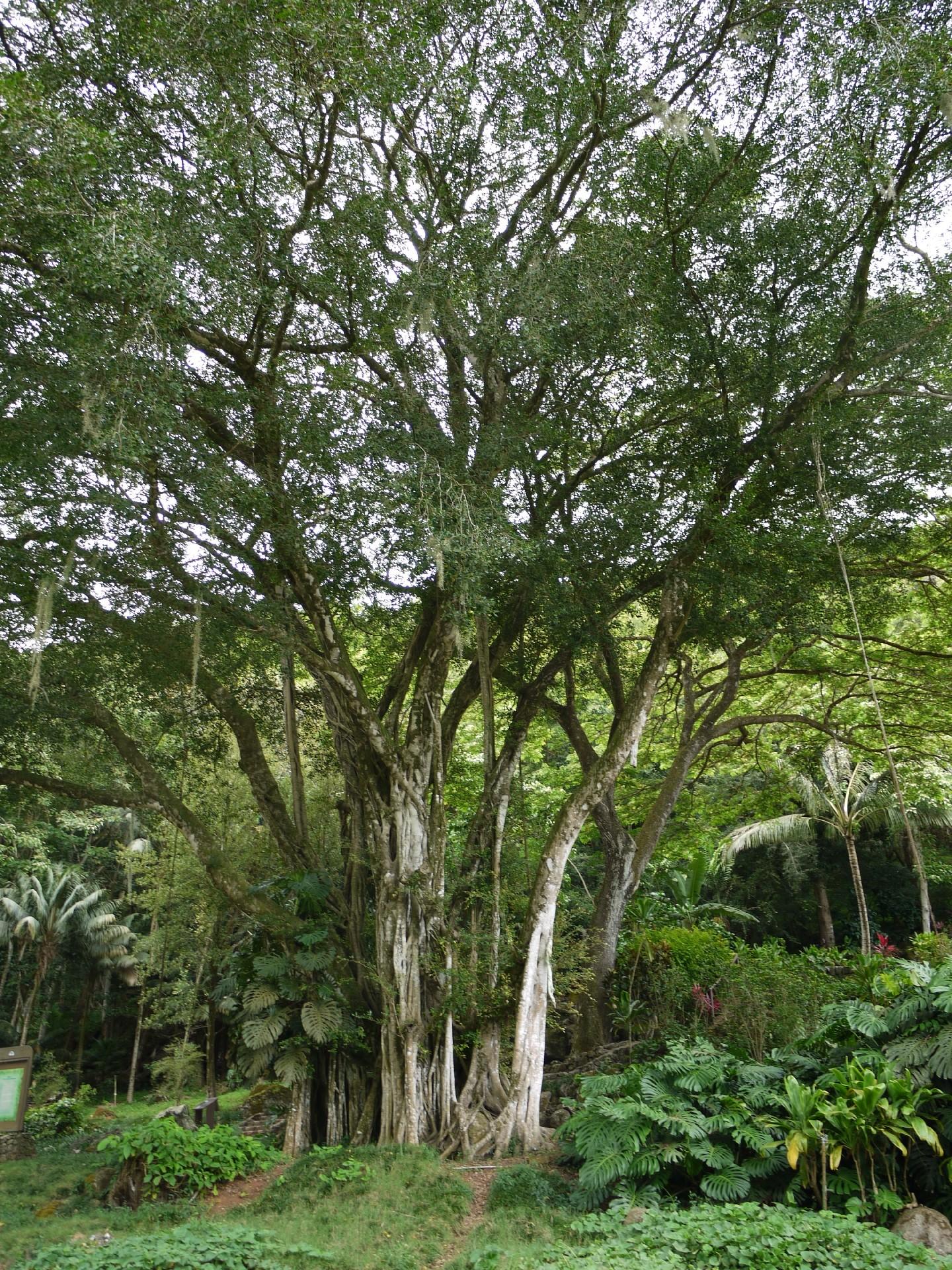hawai_tree